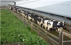 10.000 con bò có thể cung cấp năng lượng cho 1.000 máy chủ