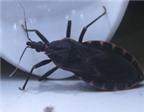 Sẽ nghiên cứu khả năng gây bệnh của bọ xít hút máu