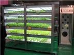 Nhật Bản nghiên cứu trồng rau xanh trong tủ bếp