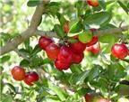 Vitamin A dồi dào trong quả cherry