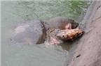 Cuối tháng 3 Cụ Rùa mới được chữa bệnh liệu có kịp?