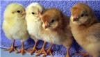 """Du lịch """"nuôi gà con lấy trứng"""""""