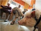 Chữa bệnh bằng… lợn