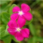 Cây hoa bóng nước giúp giảm đau