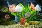 Bể cá nuôi bao nhiêu con hợp phong thủy?