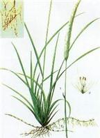 Rễ cỏ tranh chữa bệnh đường tiết niệu