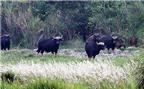 Đến lượt bò tót đối diện nguy cơ tuyệt chủng