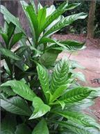 Giấm kết hợp với lá xương sông chữa viêm họng, thanh quản