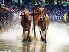Sôi động lễ hội đua bò