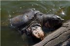 Rùa hồ Gươm sẽ được khám sức khỏe định kỳ