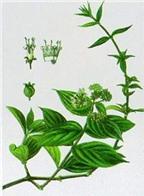 Bài thuốc chữa viêm loét dạ dày từ cây dạ cẩm
