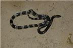 Hình ảnh những loài rắn cực độc và cách chữa trị khi bị cắn