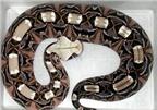 Hình ảnh những loài rắn cực độc và cách chữa trị khi bị cắn (P2)