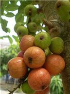 Lợi ích từ trái sung