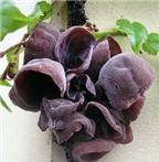 Mộc nhĩ đen: thực phẩm ngon - vị thuốc quý cho cả gia đình