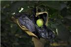 NTD nên làm gì để tránh mua phải táo bọc thuốc trừ sâu?