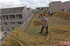 Độc đáo: Trồng lúa trên mái nhà, thu 11 yến gạo
