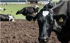 Tạo giống bò có sữa không gây dị ứng