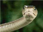 Nọc rắn cực độc có thể làm thuốc giảm đau