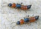 Phòng viêm da do tiếp xúc với kiến ba khoang