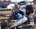 Cá ngừ đại dương: Chưa bơi ra biển lớn