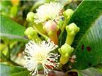 Tác dụng chữa bệnh kì diệu của cây đinh hương