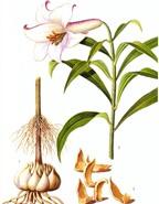 Các bài thuốc chữa ho bằng cây bách hợp