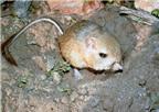 Chuột gieo rắc 35 loại bệnh truyền nhiễm