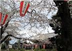 Nhật Bản đang nhộn nhịp trong lễ hội hoa anh đào