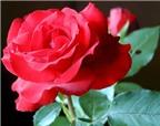 Bài thuốc trị ho từ hoa hồng