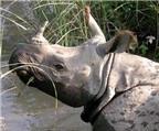 Sừng tê giác hoàn toàn không chữa được bệnh