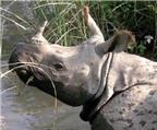 Sừng tê giác hoàn toàn không có tác dụng chữa bệnh