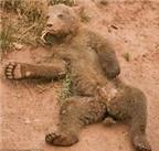 """Chú gấu """"lười chảy thây"""" kỳ lạ"""