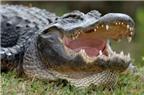 Bí quyết thay răng hàng chục lần ở cá sấu