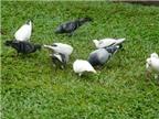 Chim bồ câu chữa xuất tinh sớm