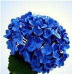 Làm hoa cẩm tú cầu độc đáo