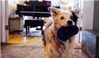 Chaser – chú chó thông minh nhất thế giới