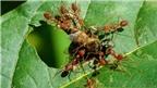 Bí quyết tẩy mụn cóc chỉ bằng... một con kiến