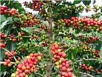 Thực nghiệm thành công cải tạo cây cà phê chè catimor