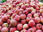 Phát hiện thêm táo, hồng nhiễm độc
