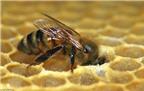 Huấn luyện ong mật phát hiện ung thư trong 10 phút