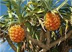 Rễ cây dứa dại không chữa sỏi thận