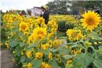 Cây hoa hướng dương chữa tiền liệt tuyến phì đại