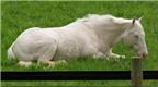 Loài ngựa: Trung thành và thông minh hơn ta nghĩ
