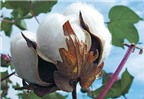 Thuốc điều trị ung thư từ cây bông vải