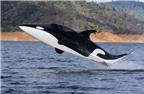 Độc đáo xuồng cao tốc cá mập của Australia