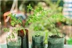 Cách trồng cà chua sạch nên thử ngay