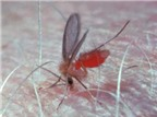 Muỗi truyền bệnh giun chỉ