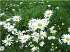 Công dụng của một số loài hoa đối với sức khỏe