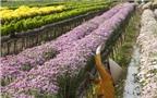 Bí quyết chăm cúc đẹp, nhiều bông
